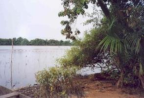 Förödande förlust av mangrove