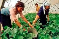 FAO bistår jordbrukare i Gaza trots åtstramningar