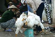 FAO varnar: Fågelinfluensan kan slå till i Indien igen