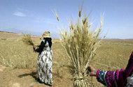 Jordbruket i Mellanöstern kommer att ta skada av klimatförändringarna