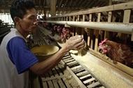 Allvarlig situation med fågelinfluensan i Indonesien