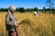 FAO förutser ökning av risproduktionen under 2008