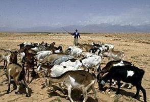 """Första utbrottet av """"peste des petits ruminants"""" i Marocko"""