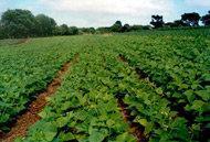 Skatteintäkter från minskade utsläpp av växthusgaser kan gynna ett hållbart jordbruk
