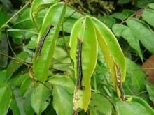 Rovgiriga jättelarver vållar förödelse i Liberia