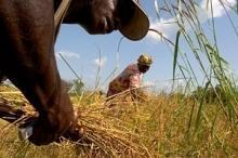 Stora risskördar kan ge lägre priser