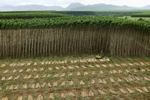 FAO omvärderar den odlade skogen