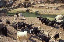 FAO: Regional plan för kontroll av mul- och klövsjuka godkänd