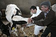 FAO lanserar webbportal för djurs välfärd