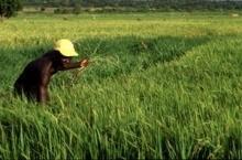 Ris ger nytt hopp till Benin