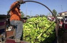 Haitis jordbruk återuppstår