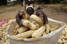 Odlingsstöd till Zimbabwes utsatta jordbrukare