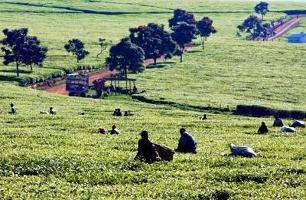 En kopp te för tryggad livsmedelsförsörjning