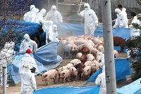FAO varnar för nya utbrott av mul- och klövsjuka