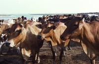Mejerisektorns växthusgasutsläpp beräknade i ny rapport