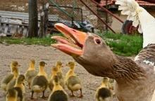 Trots framgång är fågelinfluensan fortfarande ett hot