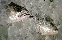 Kriminaltekniska metoder för fisk- och skaldjursbranschen