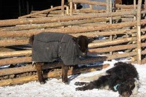 Extrem vinter – katastrofala följder för boskapssektorn i Mongoliet