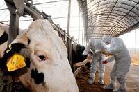 Sydkoreanskt utbrott av mul- och klövsjuka ger varningssignal till regionen