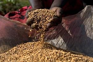 Satsningar på utsäden skapar tryggad livsmedelsförsörjning i låginkomstländer