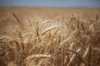 Världens veteproduktion förväntas öka 2011