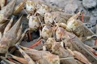 Gräshoppor hotar livsmedelsförsörjningen för 20 miljoner människor