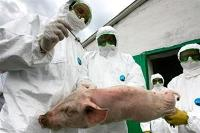 FAO uppmanar till internationell insats mot afrikansk svinpest