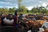 Rinderpest är utrotat - vad händer härnäst?
