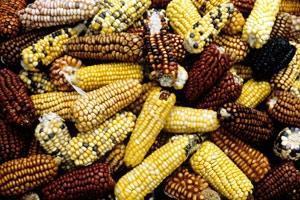 Traditionella grödor spelar nyckelroll för att bemöta klimatförändringen