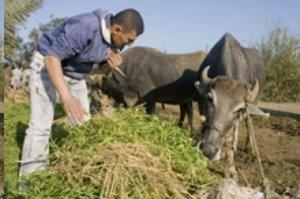 Utbrott av mul- och klövsjukan i Egypten hotar hela regionen