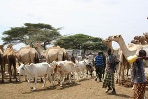 FAO vädjar om akut finansiellt stöd för Afrikas horn