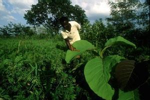 Naturskog av teak minskar medan planterade teakskogar ökar