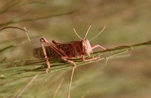 Hot om utbrott av ökengräshoppor i Niger och Mali