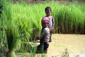 Länder måste trappa upp insatserna mot barnarbete inom jordbruket