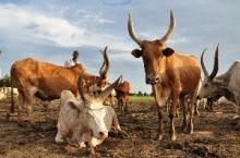 Fattigdomsbekämpning genom utveckling av boskapssektorn