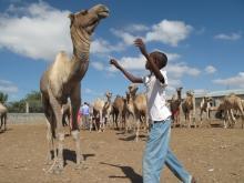 FAO stödjer projekt i Somalia - boskapsavfall blir tvål