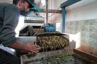 Konflikten i Syrien drabbar jordbruksproduktionen hårt