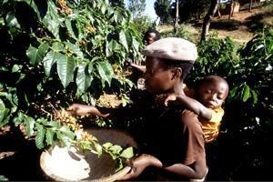 Nya politiska riktlinjer behövs för att främja trädjordbruk