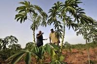 Kassava – en gröda med framtiden för sig
