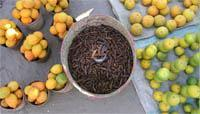 Edible insects, important source of protein in central Africa