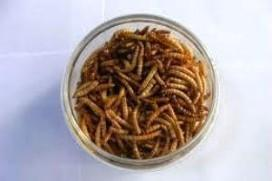 Research: Insect protein as animal feed