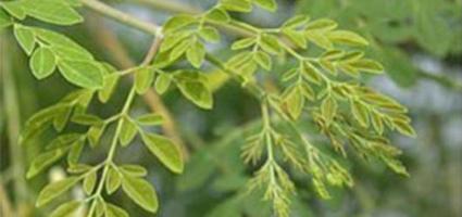 辣木: 本月传统作物