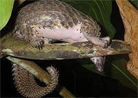 Poaching pangolins: An obscure creature faces uncertain future