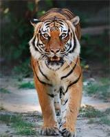 WWF: Only 50 tigers left in BTFC