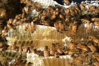 Beekeepers rejoice as karri forest in full bloom for first time in decades