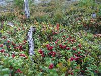 New Issue of the NWFP quarterly looks at forest berries