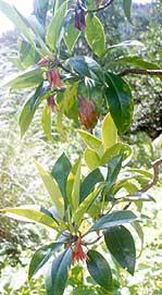 Image Bruguiera gymnorrhiza