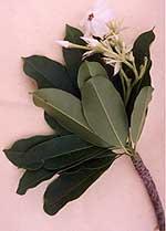 Image Cerbera manghas